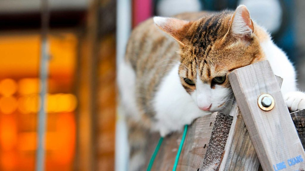 Как приучить кошку ходить на поводке
